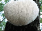 Picture of a Lion's Mane Mushroom