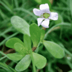 Bacopa flower