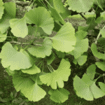 Picture of Ginkgo biloba leaves